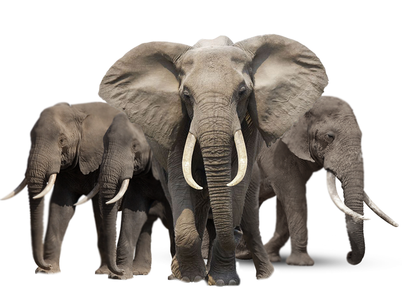 elephants_PNG18794_(1)